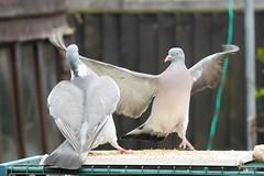 21 April 2017 (35) (AJ Yakstrangler) Tags: yakstrangler pigeon pigeons