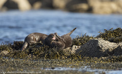 Fighting for Fish (Alastair Marsh Photography) Tags: otter otters ottercub ottercubs otterfamily fighting fight fishing fish mammal mammals babymammal animal animals wildlife animalsintheirlandscape britishwildlife britishanimals britishanimal britishmammals britishmammal scotland scottishwildlife scottishhighlands scottishmammals scottishmammal isle isleofmull mull sea ocean water loch seaweed rock rocks