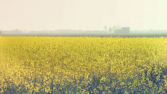 Yellow field (Stefano Montagner - The life around me) Tags: agriculture backgrounds blue farm field growth land landscape meadow nature nonurbanscene outdoors ruralscene scenics season sky springtime tree yellow colza paesaggio