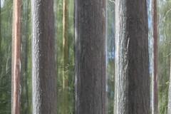 tree-d (sami kuosmanen) Tags: finland forest metsä suomi tree trees photography puu mänty pine intentionalcameramovement icm abstract europe luonto nature north light landscape long exposure pitkä valotus valo värikäs colorful