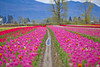 Tulip Festival 2017 @ Tulips of the Valley, Chilliwack