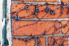 leftovers (s@ssyl@ssy) Tags: shrivelled dried old berries vine brick wall rough wrinkled