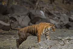 Noor in a waterhole (dickysingh) Tags: tiger ranthambore ranthambhorenationalpark india wild wildlife