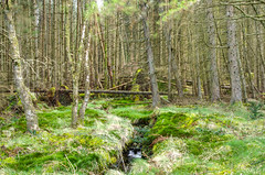 50 shades of green (Rob McC) Tags: ancient primeval wood forest trees pine green moss grass woodland landscape dense quiet tranquil peaceful deepgreen galloway scotland