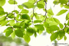 Chlorophyll (grafenhans) Tags: sony alpha 68 a68 laub bokeh blatt offenblende minolta af 1750