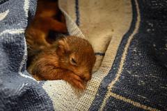 the Squirrels (#fuerstlife) Tags: squirel eichhörnchen squirelbaby baby animal fuerstlife teamrescue cute dortmund nature hörnchen photography life live fotografie dailyphoto natur