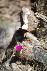 f2.8 or not f2.8? (Squirrel Girl cbk) Tags: 2017 april california echinocereusengelmannii hedgehogcactus joshuatreenationalpark dike