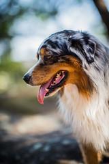 Dog Portrait : Berger Australien / Australian Sheperd : France (Benjamin Ballande) Tags: dog portrait berger australien australian sheperd france