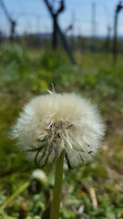 Some little parachutes 😊😉 (joe-so) Tags: fallschirm parachutes löwenzahn dandelion pusteblume beautifulexpression joeso zoomin simplysuperb