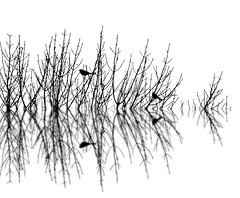 Blackbirds on White (imageClear) Tags: birds two blackbirds redwingedblackbirds branches tree mirrored bw blackandwhite artistic nature wildlife beauty contrast aperture nikon d500 80400mm imageclear flickr photostream picmonkeycom