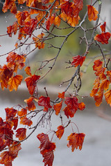 P3310591 (Paul Henegan) Tags: acersaccharum blur branchlets buds leaves maple rainyday samaras spring tree waterdroplets