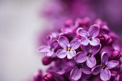 Lilac (WhiteShipDesign) Tags: lilac spring flower garden color season floral background blooming bunch bouquet gift violet petal beautiful plant nature blossom bloom freshness branch botany closeup stamen romance summer beauty purple flowers pink petals macro purity pistil lavender horizontal celebration bokeh sensuality simplicity florescence botanical