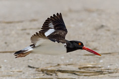 American Oystercatcher (tresed47) Tags: 2017 201704apr 20170410capemaybirds americanoystercatcher birds canon7d capemay content folder newjersey peterscamera petersphotos places shorebirds takenby us