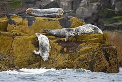 Grey seal (anacm.silva) Tags: greyseal halichoerusgrypus seal focas wild wildlife nature natureza naturaleza mammals escócia uk isleofmay firthofforth scotland