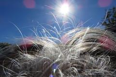 Strange plant? [aliens in the garden] (Snorkle-suz) Tags: smileonsaturday hair strangeplant myhair wild bluesky sun shine lensflare kiwi newzealand aotearoa nz stilllife ordinaryart shadows canonpowershotsx700hs snorklesuzsuzanne