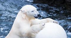 Eisbär spielend (neisi.photography) Tags: eisbär ball hannover canon zoo spielen ausflug tiere ice niedersachsen deutschland de