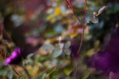 ILCE-6000-06819-20170416-1523 // Meyer-Optik Gorlitz Oreston 50mm 1:1.8 (Otattemita) Tags: 50mmf18 florafauna görlitz meyeroptik meyeroptikgörlitzoreston50mmf18 oreston fauna flora flower nature plant wildlife meyeroptikgorlitzoreston50mm118 sony sonyilce6000 ilce6000 50mm cnaturalbnatural ota