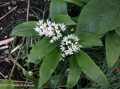 April 11th, 2017 Ramsons (karenblakeman) Tags: cavershamgarden caversham uk ramsons wildgarlic flowers april 2017 2017pad