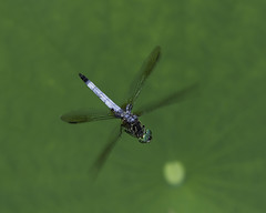 DragonFly_SAF0342 (sara97) Tags: copyright©2016saraannefinke missouri nature outdoors photobysaraannefinke saintlouis towergrovepark predator mosquitohawk flyinginsect insect dragonfly inflight