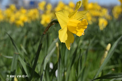 Yellow daffodil (myphotomailbox) Tags: rotterdam netherlands outdoor flower strevelsweg yellow explore bloem fleur blüte फूल blom bunga flor çiçek ফুল פרח گوڵ virág 花 fiore flouer άνθοσ flos kukka geel sárga पीला kuning amarillo sarı gelb 노랑 黄色 jaune gilvus žuta زەرد uòngsáik gul жёлтыйцвет barważółta पीत yelo