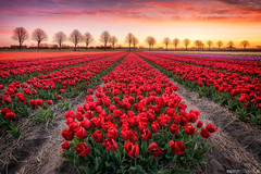 Red Tulips (Anthony Malefijt - www.malefijtfotografie.nl) Tags: landscape tulips field spring springtime red sun sunset sunrise sky colors happy flowers trees nikon