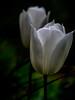 White tulips (lens study) • Weiße Tulpen (Objektiv-Studie) (tuvidaloca) Tags: flower 7mmanillodistanciador closeup garten blüte jardín tulip bokeh bokehextreme garden macro tulpe tiltshift verde grün desenfoqueparcial flor grácil makro studie 7mmextensiontube green blando primerplano tiltshiftadapter tulipán blütenstand blossom weis study fine estudio heyday dof inflorescencia nahaufnahme tulpen infloreszenz apogeo tulips desenfoque 7mmdistanzring white vistadecerca delicate inflorescence ts blütezeit zart floración fino blanco