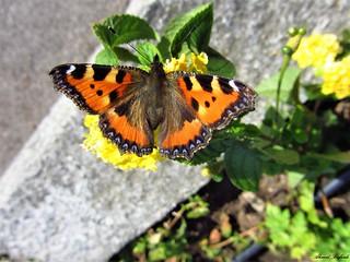 Butterfly 1218