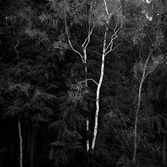 Bickenhill Plantation (ss9679) Tags: hasselblad 120 fp4 500cm nature trees blackandwhite ilford pushedfilm birmingham nec epson4180 zeiss sonnar 150mm cf bickenhill birch analog film 6x6 mediumformat uk landscape square kodakhc110 hc110 ilfordfp4125 400 mittelformat filmdev:recipe=11348 film:brand=ilford film:name=ilfordfp4125 film:iso=400 developer:brand=kodak developer:name=kodakhc110