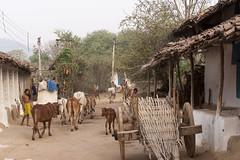 Rural village (wietsej) Tags: rural village kawardha chhattisgarh india sonyalphadslra900 a900 sal70200g 70200 tribal people cows