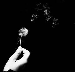Make a wish.. (Matthieu Manigold) Tags: monochrome flower blowball wish black bw white nikon noiretblanc noir blackkey