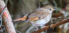 Hermit Thrush (d.gale052) Tags: 2017 april bird outdoors thicksonwoods whitby wild hermit thrush