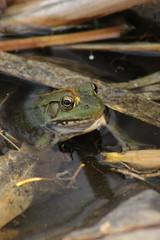 Frog (historygradguy (jobhunting)) Tags: easton ny newyork upstate washingtoncounty frog animal amphibian water