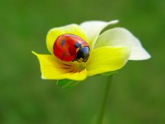 (Alin B.) Tags: alinbrotea nature spring flower ladybug ladybird april