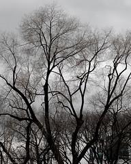 Tangled Bark Over Union Square (Scott Yeckes) Tags: nyc nature newyork unionsquare unionsquarepark bark leafless leaflesstrees manhattan mysterious streetphotography tangledbark trees