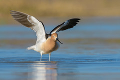 American Avocet (Amy Hudechek Photography) Tags: avocet bird wildlife nature wing stretch lake colorado amyhudechek migration shorebird