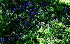 Parklife-England (J Holmes-Leather) Tags: plants flowers nature color colour outdoors green blue gardens parks seasons spring england
