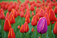 think different! (keukenhof -lisse, netherlands) (bloodybee) Tags: thinkdifferent oddoneout difference tulip flower petals keukenhof lisse netherlands europe red violet purple green dew water drop