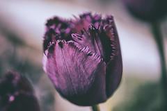three tulips (HHH Honey) Tags: sonya7rii minolta50mmf28macro flowers garden macro spring googlenikcollection analog purple tulip fringed