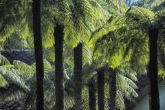 Mt Wilson 8 (trisharooni) Tags: australia autumn mtwilson breenhold