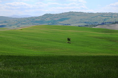 Differenziarsi, sempre (LaDani74) Tags: countryside tuscany valdorcia italy nature landscape naturescape grass meadow spring tree hill