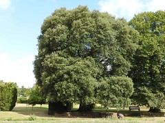 oak_holm (Hall Place Idler) Tags: oak holm fagaceae quercus hallplace