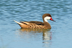 White-cheeked Pintail - Anas bahamensis (Roger Wasley) Tags: whitecheeked pintail anas bahamensis camuy pond puerto rico west indies duck wild bird caribbean greater antilles tropical neotropical bahama summer dabbling