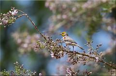 'lovely setting (d-lilly) Tags: anaborregostatedesertpark southerncalifornia nature birds verdin blooms california canon7dmarkll c