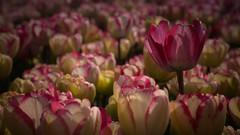 Tulpen (Yvonne Dammer) Tags: macro bollen tulpen 2017