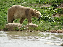 Victor watching Pixel (LadyRaptor) Tags: yorkshirewildlifepark yorkshire wildlife park doncaster ywp conservation nature outdoors spring green grass flowers rocks sun sunny shining bright water lake reflection ripples walk walking looking watching happy muddy dirty coat fur animal animals cute predator carnivore caniformia ursidae polarbear polarbears large male polar bear bears ursusmaritimus projectpolar victor pixel