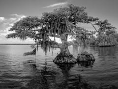 Joe Middleton's rest (Ed Rosack) Tags: cypress usa tree blackandwhite infrared landscape cloud water sky bluecypresslake centralflorida lake calm ©edrosack florida bw cloudy ir verobeach