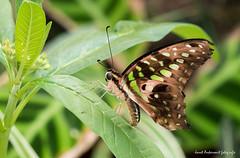 JM foto75-132 (janetankersmit) Tags: 2017 vlinders vlindertuin zutphen