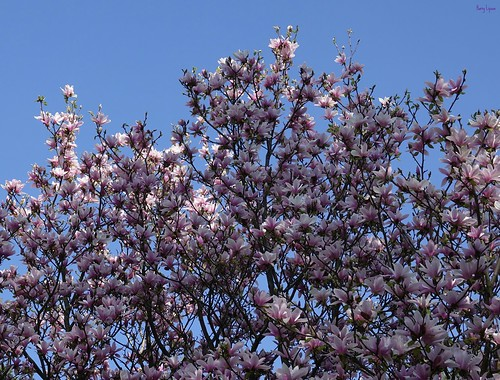 """Magnolia Sky • <a style=""""font-size:0.8em;"""" href=""""http://www.flickr.com/photos/52364684@N03/34332735976/"""" target=""""_blank"""">View on Flickr</a>"""