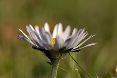 Daisy (Ewerpower1) Tags: daisy flower spring netherlands macro