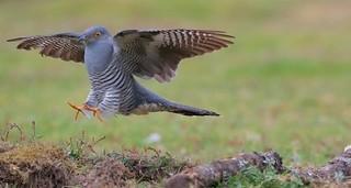 It's a cuckoo, cuckoo, cuckoo, cuckoo....